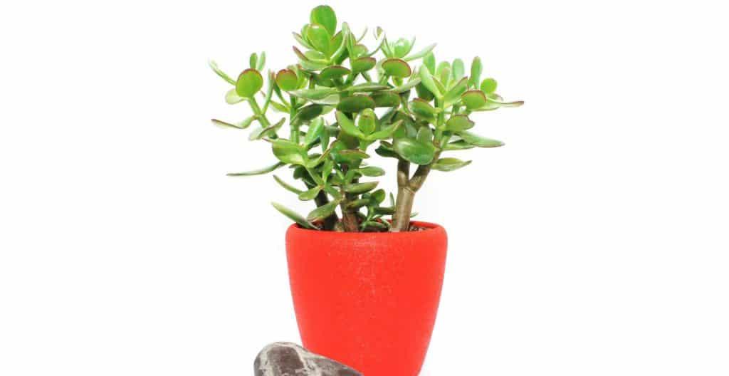 money-plant-feng-shui