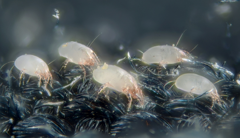 House Dust Mites