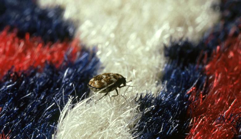 Are Carpet Beetles Dangerous