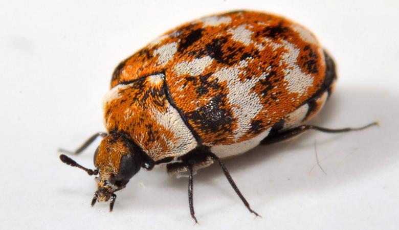 Orange Carpet Beetle